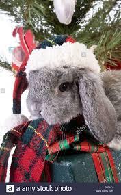 cute christmas grey mini lop baby bunny rabbit wearing hat under
