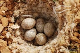 تكــاثر الطيور Images?q=tbn:ANd9GcSd0KiPmHt-AUM-0DusQIivz1d_Fq15GXdAKFXN7ZzAuWQ2VZuX