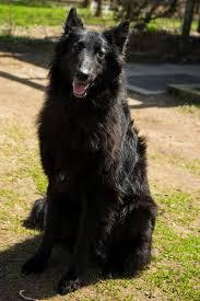 belgian sheepdog breeders in texas belgian sheepdog rescue trust home facebook