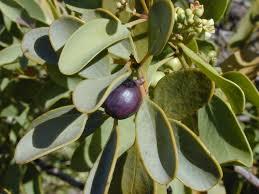 Santalaceae