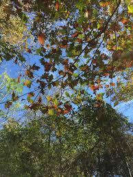 White Oak Bark Tree Gerald Brown Field Botany