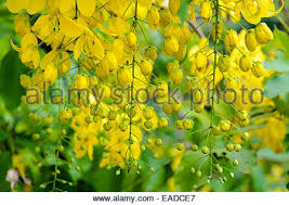 Tree With Bright Yellow Flowers - yellow flower of cassia fistula or golden shower tree lying on