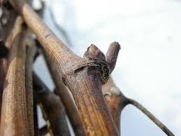 Какими способами можно размножать виноградную лозу