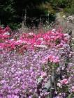 All four types of <b>Clarkia</b> are