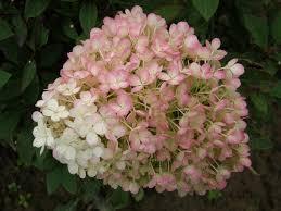 "Hydrangea paniculata ""bobo"" Images?q=tbn:ANd9GcShGBpJ9XLgIAi2l_70R-6kru_hZiq3vCOs1CXMoLIIKFW5nPB-"
