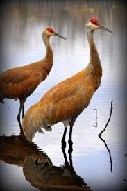 68 best cranes images on pinterest crane beautiful birds and