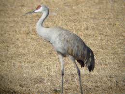 have you seen a sandhill crane blogs wakefield observer