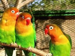 Sevda Papağanının Üremesi Hakkında Geniş Bilgi