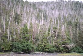 pacific northwest research tation yellow cedar are dying in