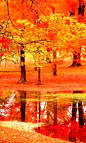 Maple Trees Autumn
