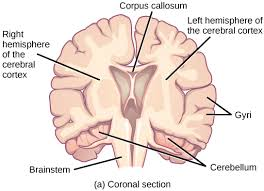Sheep Brain Anatomy Game The Central Nervous System