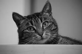 Sina mal in schwarz weiß - Bild \u0026amp; Foto von Kristin Löwe aus Katzen ... - Sina-mal-in-schwarz-weiss-a21036619