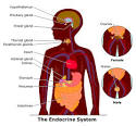 Although the <b>endocrine</b> glands
