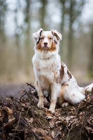 australian shepherd diseases australian shepherd smart working dog australian shepherd dog