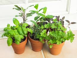 best way to grow herbs ask dr weil