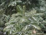 Image result for Abies chensiensis