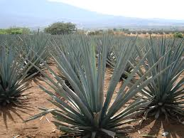 Agave tequilana