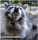 evil raccoon