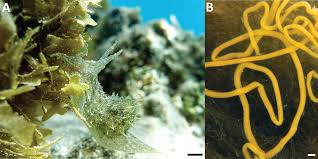 the embryonic life history of the tropical sea hare stylocheilus