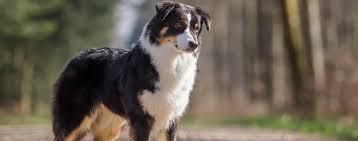 australian shepherd diseases hearthaven australian shepherd about