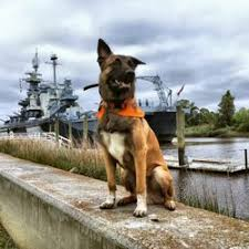belgian shepherd nc off leash k9 training 15 photos pet training wilmington nc