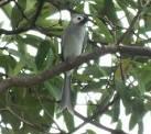 นกแซงแซวจากจีนมาเยี่ยมเยียนถึงหน้าบ้าน ๑๐ ตุลาคม ๒๕๕๕