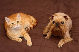 affenpinscher brown brussels griffon dog breed information pictures characteristics
