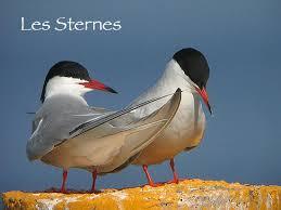 Protection des Sternes en Gironde Images?q=tbn:ANd9GcSpR8FIaX4GySIXtsiPemBkUQ0zAWCqdB9vvE2QzNNGMbqjvF4x