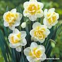 عکس گل نرجس