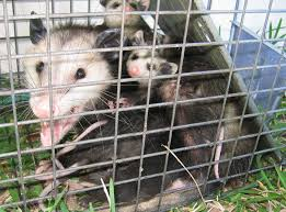 How Do You Get Rid Of Possums In The Backyard by Top 10 Home Remedies To Get Rid Of Possums Plus 2 Lethal
