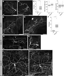 dendrite self avoidance is controlled by dscam cell