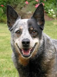 australian shepherd queensland heeler australian cattle dog names find 101 names and meanings for your