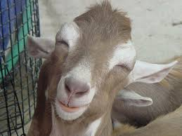 Photo of a stoned goat?