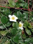 Image result for Fragaria chiloensis