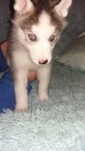 bluetick coonhound oregon siberian husky puppy dog for sale in portland oregon