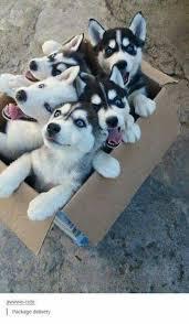 husky x australian shepherd for sale best 25 siberian husky puppies ideas on pinterest husky puppy