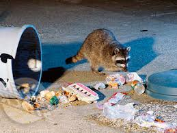 How Do You Get Rid Of Possums In The Backyard by How To Get Rid Of Raccoons Best Raccoon Control Tips Methods And