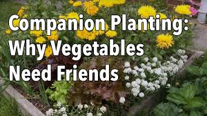 companion vegetable garden layout companion planting why vegetables need friends youtube