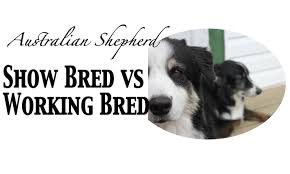 australian shepherd qualities show bred vs working bred australian shepherds youtube