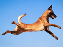 belgian shepherd uk breeders america u0027s most energetic dog breed comes from belgium business