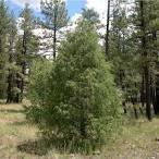 Image result for Juniperus scopulorum