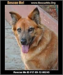 australian shepherd queensland heeler texas australian cattle dog rescue u2015 adoptions u2015 rescueme org