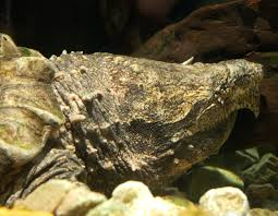 alligator snapping turtle mdc discover nature