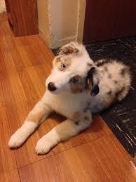 6 month old mini australian shepherd chloe1 jpg