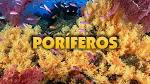 HD | <b>Poríferos</b> (Filo Porífera)
