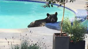 bear lounges in pool moves to tub in vancouver yard youtube