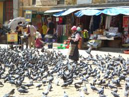 Pigeons Images?q=tbn:ANd9GcSwUdXWd8Wsp6kPD6acpz2L-IQUilGC9q1mr9uOKr5me-T4urx6Ig