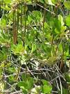 Image result for Ceriops tagal
