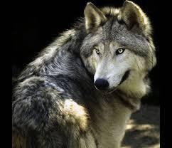 Wolves of the Elements Images?q=tbn:ANd9GcSws9Vf0Ffc5HYAtf8OjshOQrPR9XbZKpCQV9-g4twFn7PXXsjjvg