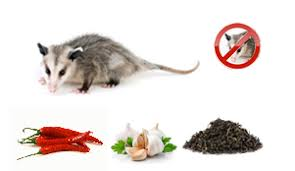 How Do You Get Rid Of Possums In The Backyard by Healthy Living Natural Repellents For Getting Rid Of Possums On